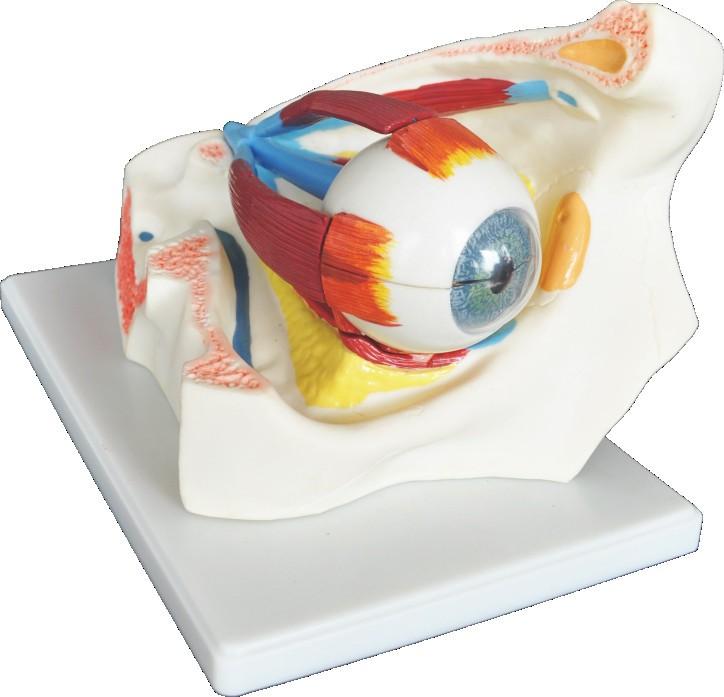 Anatomía Humana Ojo En Órbita Modelo 8 Piezas Para El Modelo Médico ...