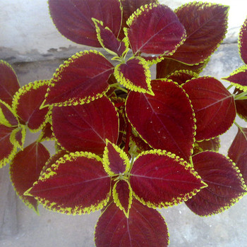 Shanghai herbary sale different types Coleus seed for planting
