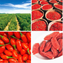 Organic fresh goji berries from Inner Mongolia