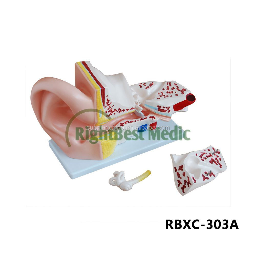 Model Of Human Ear, Model Of Human Ear Suppliers and Manufacturers ...