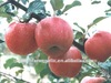 Chinese Fresh Red Fuji Apple of 2012