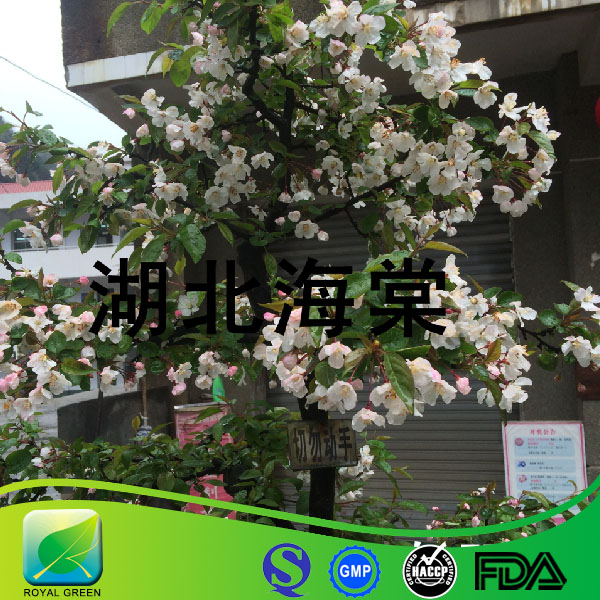 ISO Certificate UV 100% Natural Phlorizin 95% Apple Root Extract