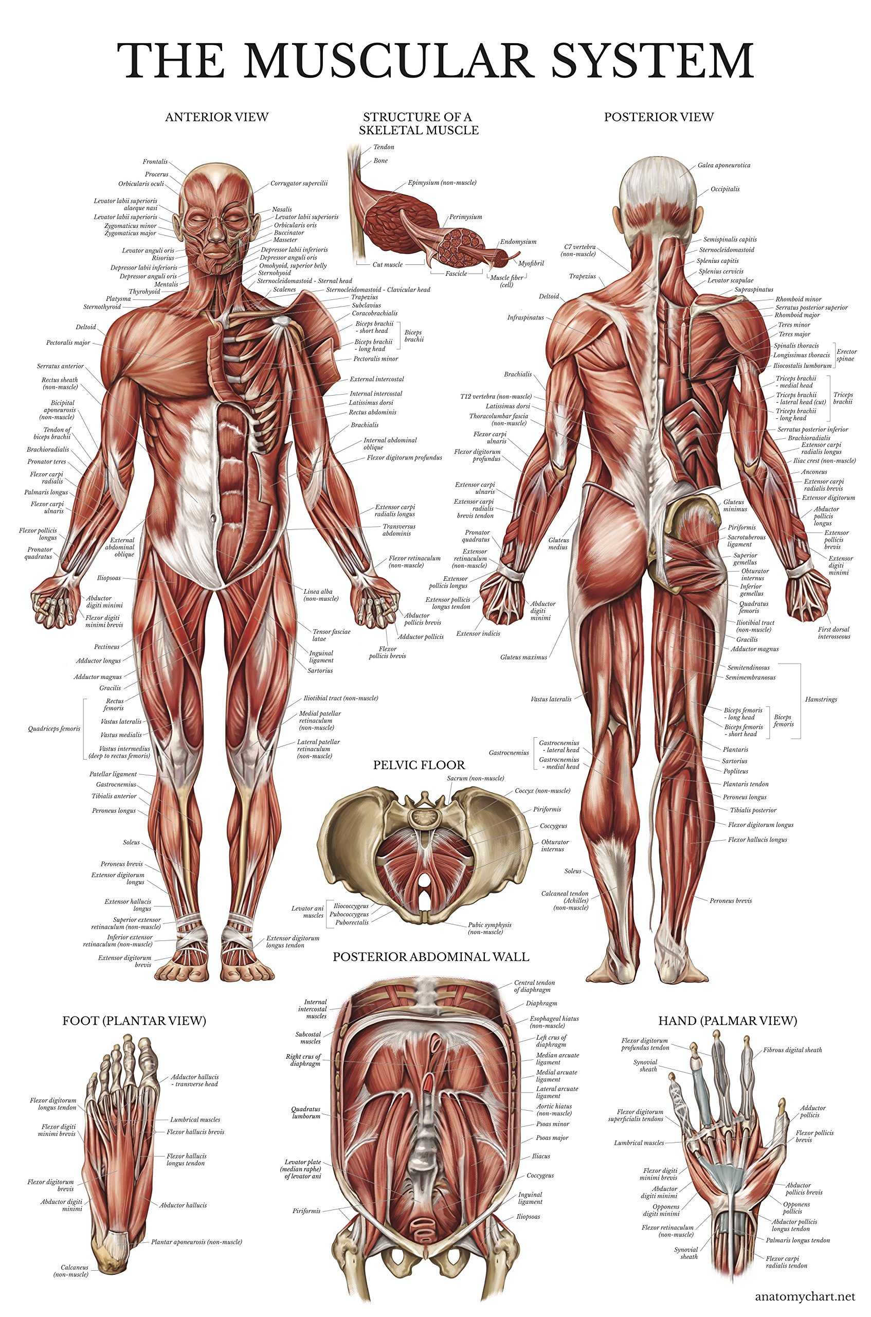 Cheap Body Muscle Anatomy, find Body Muscle Anatomy deals on line at ...