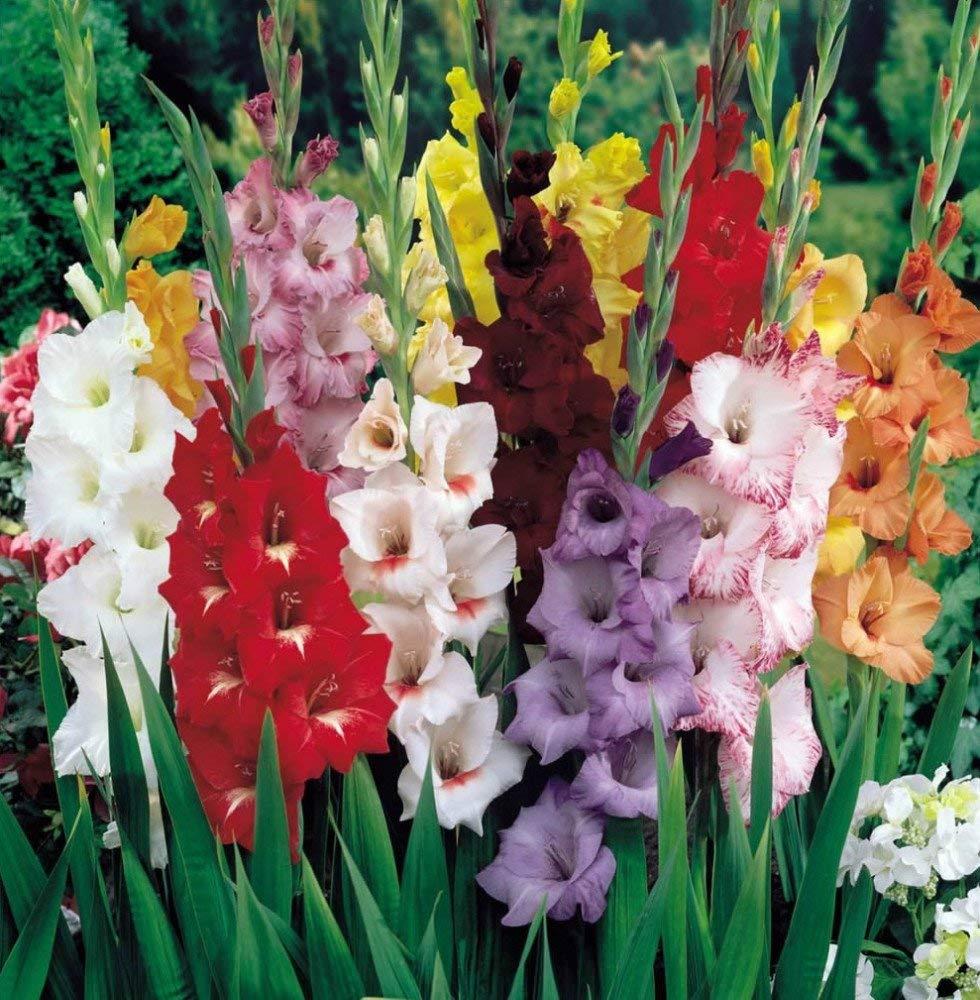 GLADIOLUS, BULB (50 Bulbs) PASTEL MIXED , MIXED PERENNIAL GLADIOLUS BULBS, FLOWERS …
