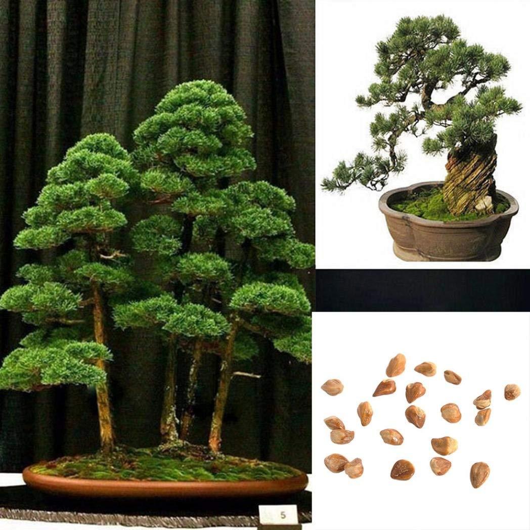 Cheap Japanese White Pine Bonsai Find Japanese White Pine Bonsai Deals On Line At Alibaba Com