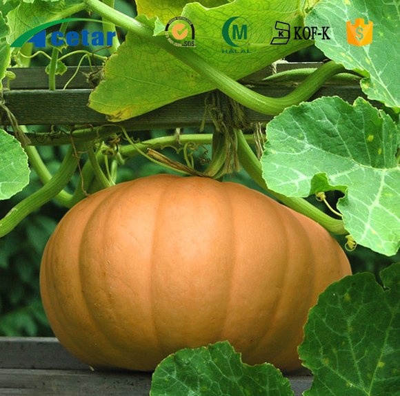 Pure natural herbal extract pumpkin seed protein 70%