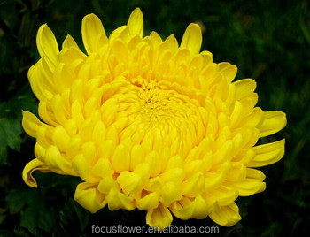 Most Popular Fresh Cut Flowers France Chrysanthemum Flower To ...