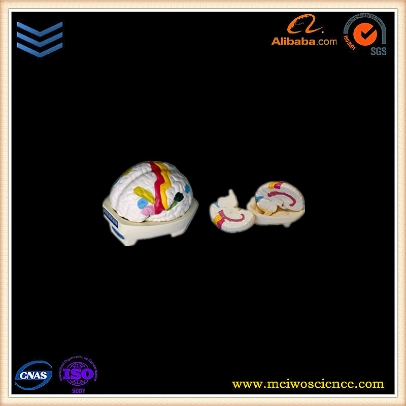 Divide area of brain cortex model 2 parts human anatomy model