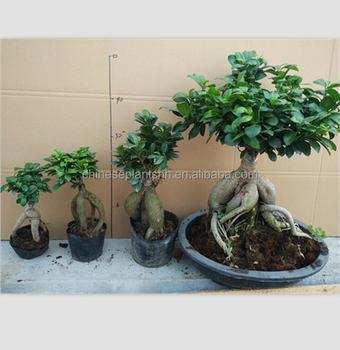 50g 3000g Ginseng Grafted Ficus Bonsai Ginseng Ficus Bonsai Trees
