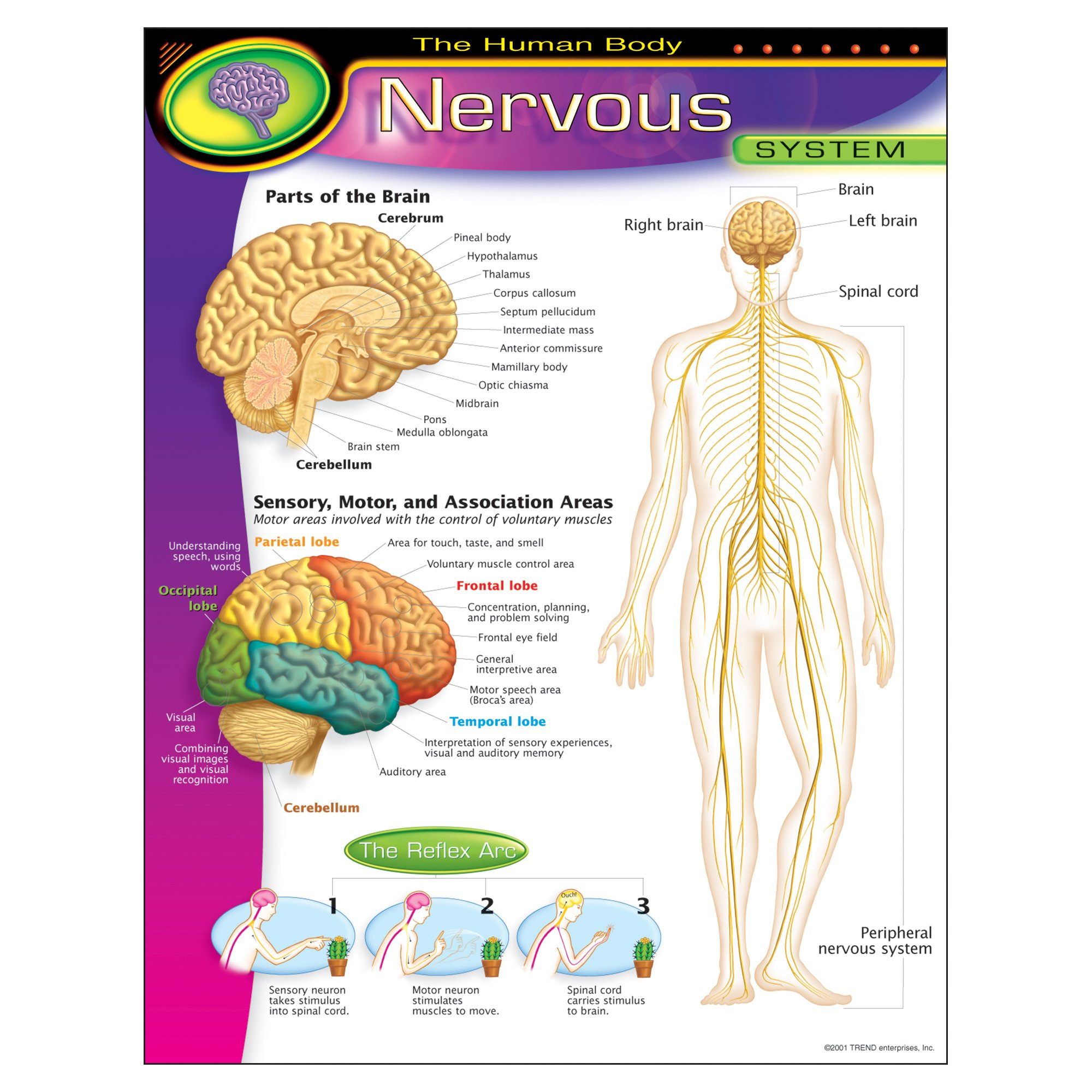 Cheap Human Body Nervous System Find Human Body Nervous System
