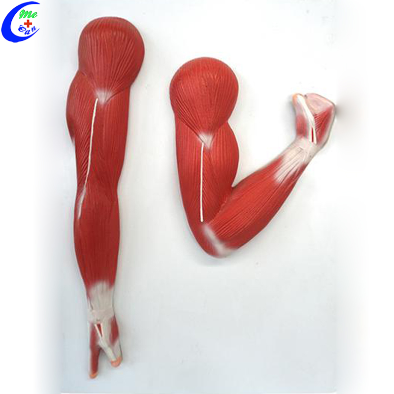 anatomical model muscle.jpg