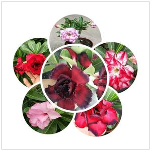 China bonsai adenium wholesale 🇨🇳 - Alibaba