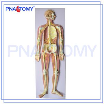 Pnt 0439 Advanced Anatomical Medical Human Nervous System Model