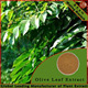 Good quality pure Olive Leaves extract Oleuropein