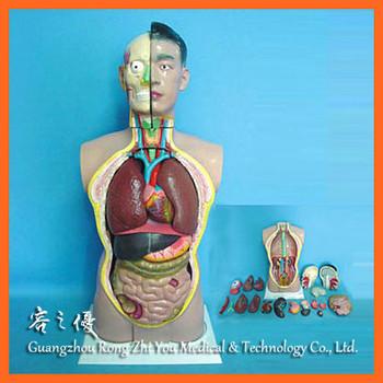 R030102 85cm Medical Teaching Human Male Anatomy Torso 19 Parts