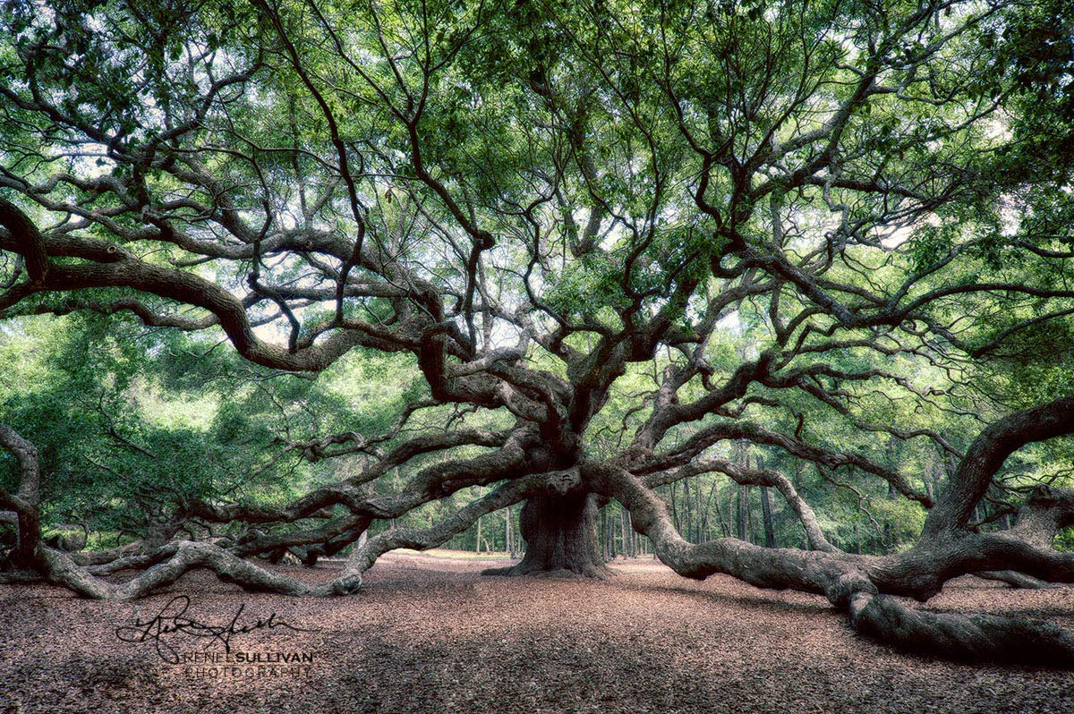 Angel Oak Tree, Charleston SC, Canvas or Metal Ready-to-Hang Print, Color, Nature Photography, Extra Large Wall Art, 7x5 to 72x48 inches