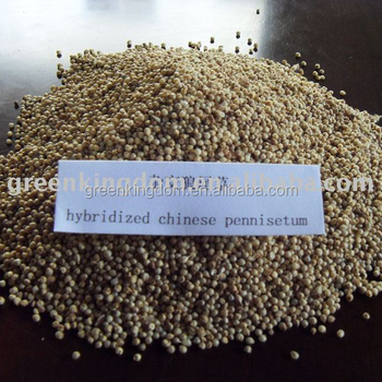 Subtropical Region Hybridized Chinese Pennisetum Seed