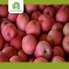wholesale apples price fresh apples with great price