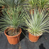 Ornamental plant Agave striata