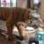 KANO-054 Factory Price Life Size Animatronic Tiger