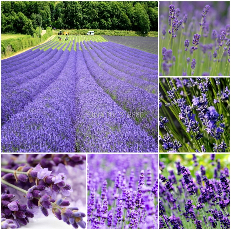500pcs Lavender seeds herb seed garden balcony pot Four Seasons flower seeds Free shipping