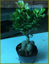 Ficus microcarpa ginseng indoor bonsai