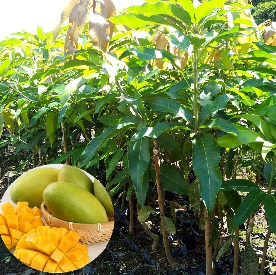 Mang Guo Bulk Mango Fruit Trees Nursery For Planting Plant Product On Alibaba