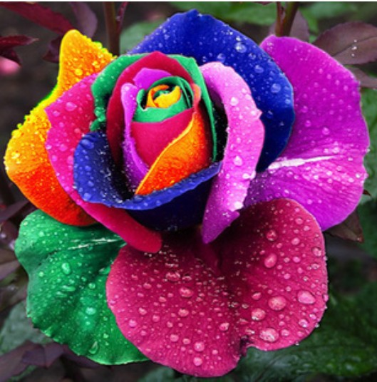 Beautiful rainbow rose seeds multi colored rose seeds rose flower seeds