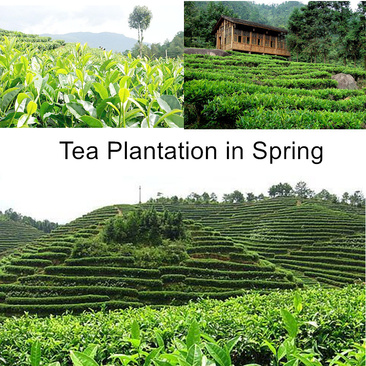 Famous China green tea of  Health care product good taste  green  slimming Tea L