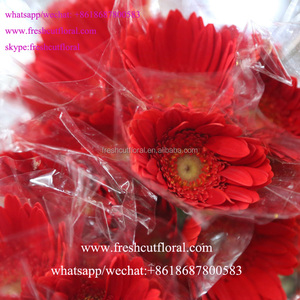 Wholesale Directory Fresh Flower Gerbera Daisy Plants Wholesale With Most Competitive Price