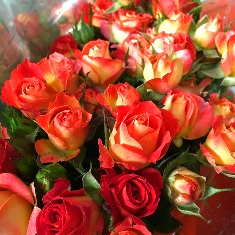 Flower Decoration Spray Champagne Rose Wholesale From Kunming ...