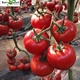 Excellent Beauty Big Red Indeterminate Hybrid F1 Tomato Seeds Vegetable Seed
