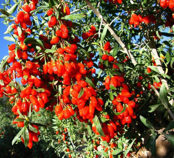 Goji Berries Plants Seeds For Sale From The Best Goji Production