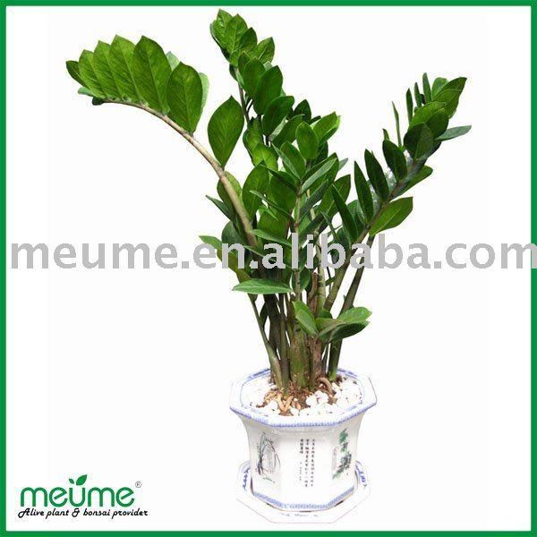 Zz house planta bonsai planta de rbol del dinero bons i - Planta china del dinero ...