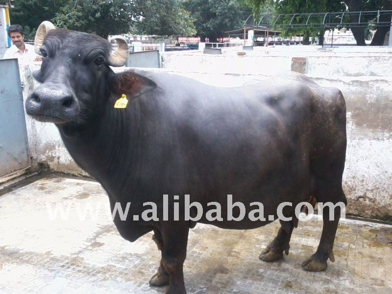 Buffalo For Sale >> Hf Jersi Cows Murrah Buffalo For Sale Buy Cow And Buffalo Product On Alibaba Com