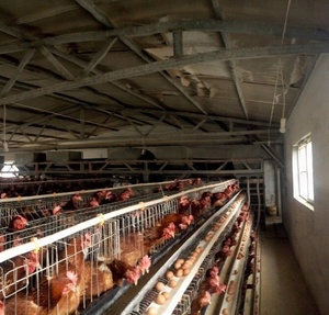 chicken cages supply chicken farm design and poultry farming technology Consulting