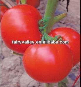 Determinate Growth Big Red F1 Hybrid Tomato Seeds For Growing-New Generation Century Star
