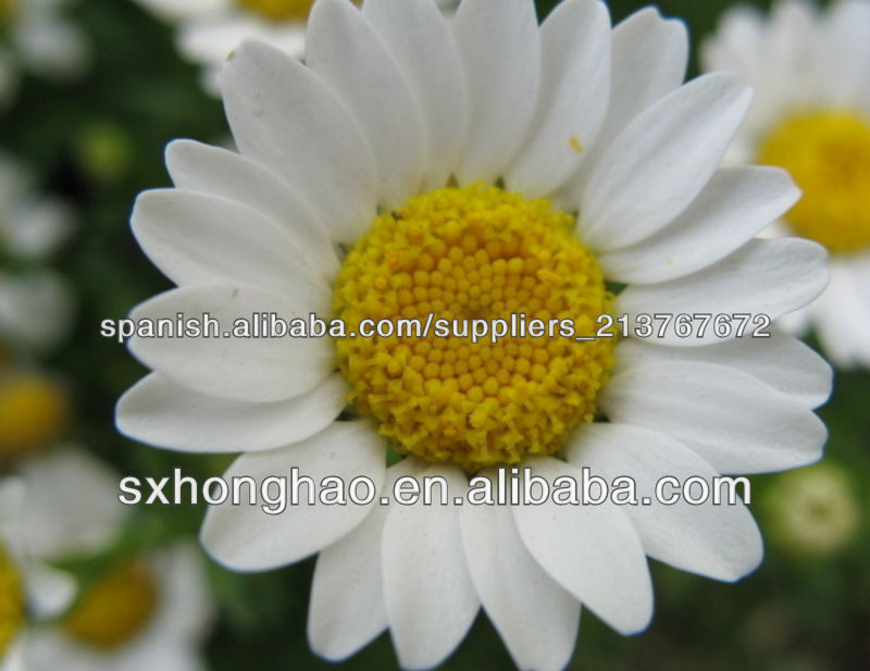 Free Sample Feverfew Herbal Extract