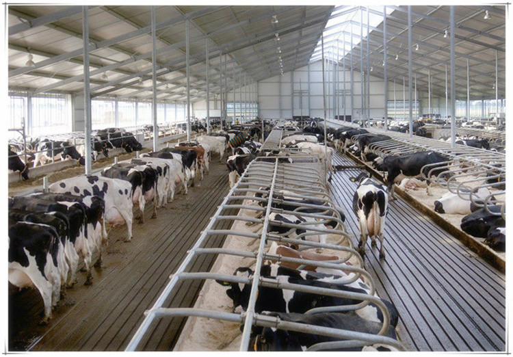 Cowsheddairy farm shed building view steel structural dairy farm