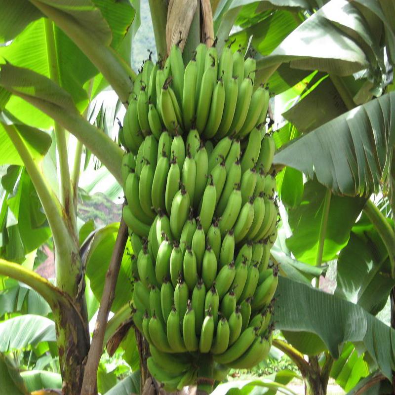 Aliexpress.com : Buy 120pcs/bag Rare Green Banana Melon ...