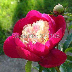 100 peony white cap seeds very rare gorgeous impressive