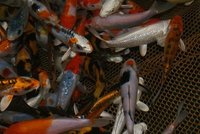 KOHAKU KOI FISHES AND MANY OTHER KOIS AVAILABLE FOR SALE.