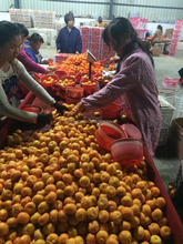 Jiangxi baby mandarin hot selling fruit