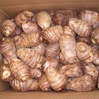Taro Taro Chinese Taro For Sale