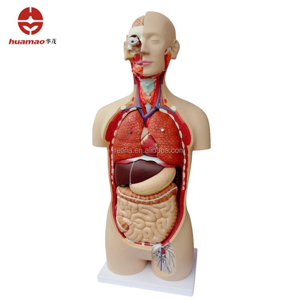 Hm Bd 168 85cm Unisex Human Torso Model 19parts Buy Human Torso