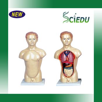 45cm Human Male Torso Anatomy Human Torso Model Buy Human Torso
