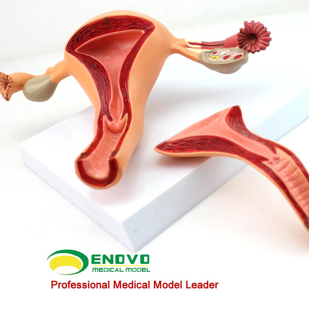 Venta al por mayor organos genitales femenino-Compre online los ...