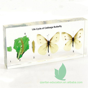 Animal Life Cycle Preserved Specimens Cabbage butterfly Life Cycle Embedded Specimens
