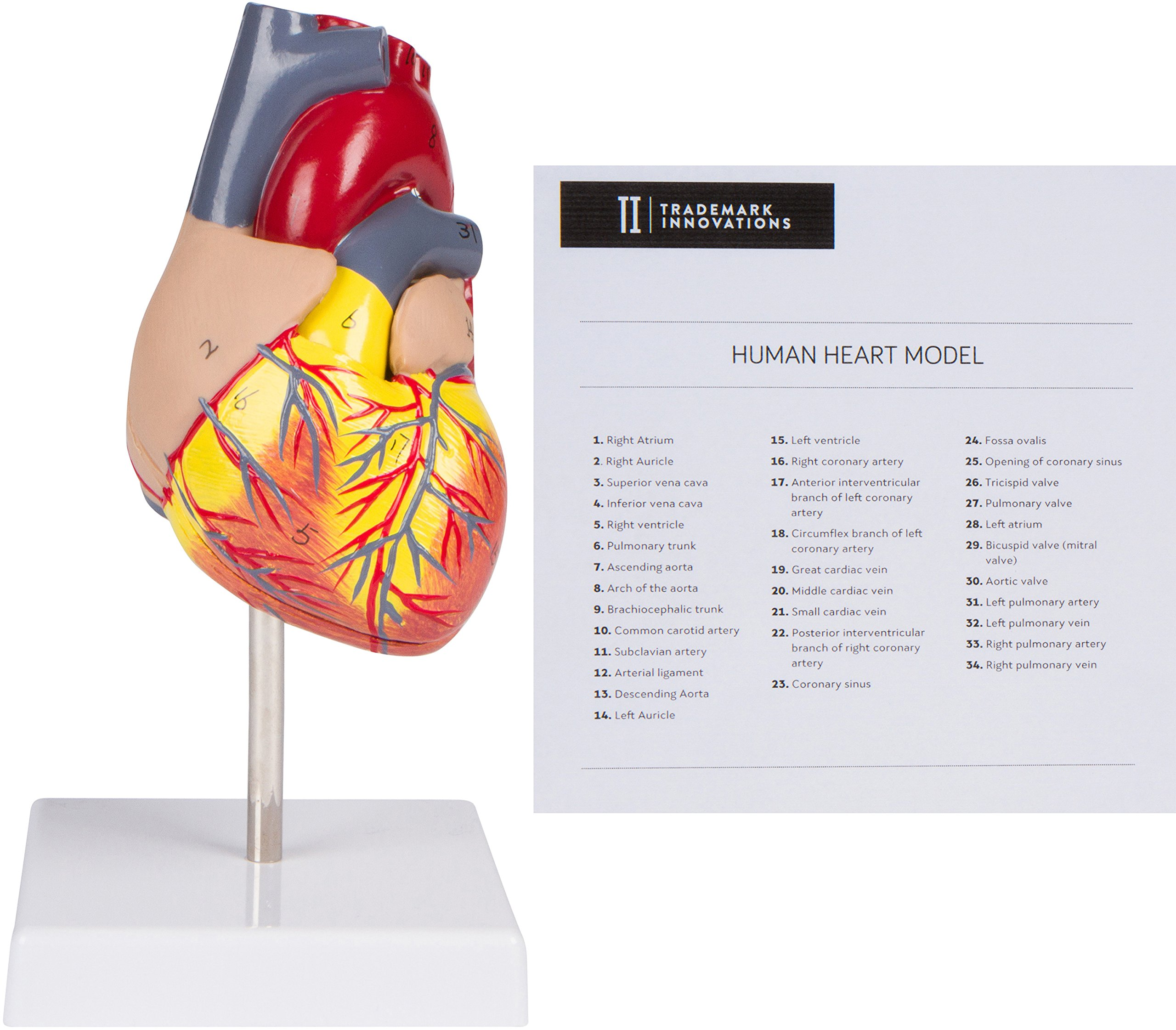 Cheap Labeled Heart Model Find Labeled Heart Model Deals On Line At