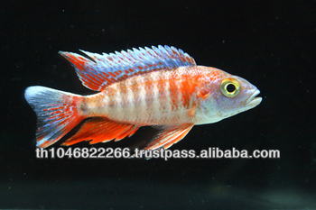 Cichlid Fish Farm For Sale And Export